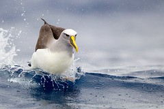 Buller's Albatross (Callocephalon Photography) Tags: ocean bird water beautiful australia running nsw splash seabird albatross bullersalbatross thalassarchebulleri offeden