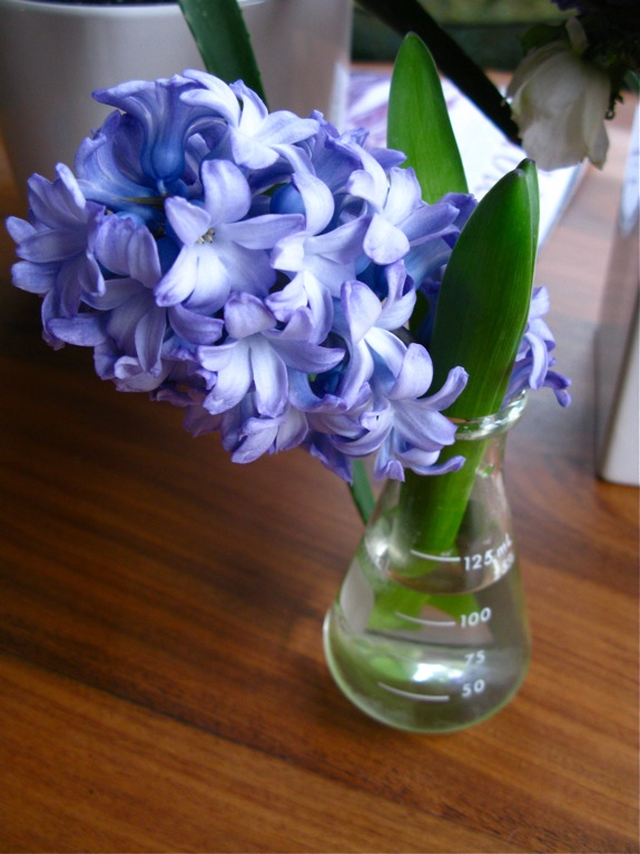 lavender hyacinth 001