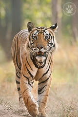 A Close Encounter (The Eternity Photography) Tags: india tourism nature animal closeup forest canon mammal nationalpark asia wildlife tiger safari explore bigcat jungle 2009 sanctuary wwf wildlifesafari digitalphotography gamedrive bengaltiger madhyapradesh kanhatigerreserve carnivora kanha felidae centralindia indiatourism wildlifephotography wildindia indianwildlife kanhanationalpark explored incredibleindia explore1 iloveindia savethetiger specanimal inexplore pantheratigristigris royalbengaltiger kanhawildlifesanctuary tigercloseup visitindia natureislovely santanubanik theeternity tigerinthewild savethewildlife flickrbigcats madhyapradeshtourism     kanhameadow kanhatrip iloveindianwildlife    wwwfrozenforeternitycom centralindiaforest