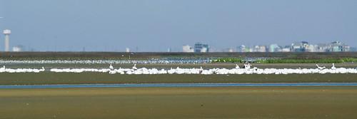 American White Pelican flock