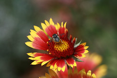 Beeeeeautiful (crafty1tutu (Ann)) Tags: flower macro nature insect bee gaillardia sooc canon400d australianfemalephotographers january2009 ilovemypics addictedtonature anaturecanvas