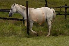 Horse Show Ukarumpa (The PNG Scotts) Tags: horse png papuanewguinea sil ukarumpa
