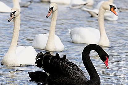 black-swan-415x275