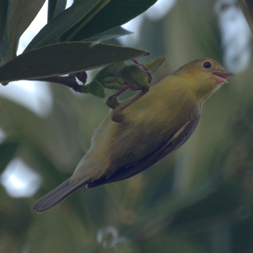 Bicolored Conebill (female)