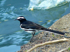 White-browed Wagtail (SivamDesign) Tags: bird fauna lumix panasonic wagtail motacillamaderaspatensis whitebrowedwagtail motacillamadaraspatensis largepiedwagtail fz8 dmcfz8