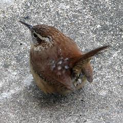 Little Wren (zxgirl) Tags: bird birds animal animals overcast aves wren wrens mybackyard animalia s5 carolinawren thryothorusludovicianus passeriformes chordata troglodytidae img4818 thryothorus