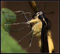 My garden is wild! (Edduardo de Oliveira) Tags: macro nikon borboleta goiânia goiás 105mm