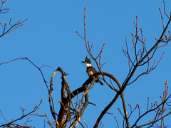 Belted Kingfisher (hpaich) Tags: desktop wallpaper tree bird beach water sunrise bay fly newjersey branch background wildlife branches feathers nj feather shore kingfisher monmouthcounty desktopwallpaper desktopbackground beltedkingfisher raritanbay cliffwoodbeach