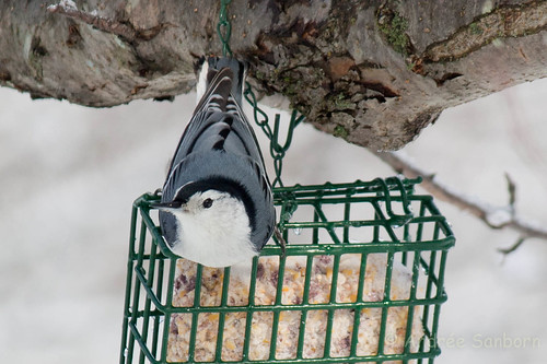 White-breasted nuthatch  (6 of 13).jpg