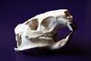 Myocastor coypus (La fille renne) Tags: ragondin myocastorcoypus skull crâne bones osteology animal dead curio wunderkammer