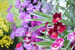 Orchid Show 998 (Krasivaya Liza) Tags: flowers newyork orchid flower color nature floral beauty garden botanical flora natural bronx botanicalgardens orchidshow