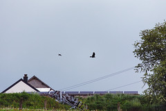 The Crow and the Buzzard (Lux Obscura) Tags: birds crow buzzard evening hunting wild life nature fable