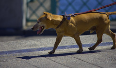 Just Another Happy Dog (swong95765) Tags: dog animal canine happy cute walk leash smell