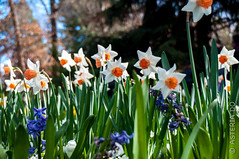 Narcissus (Asteria D.) Tags: nature plant flower colorful hyacinth closeup