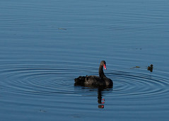 Black Swan-11a (sknight56) Tags: swan blackswan canon minnesota water nature bloomington
