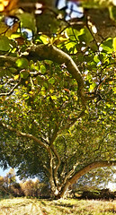 Branching out (1M090253 5x3x5 E-M1 7mm iso200 f8 1_80s) (Mel Stephens) Tags: 20161009 201610 2016 q4 scotland uk aberdeenshire plants trees tree stitched ptgui panoramic vertorama olympus omd em1 m43 microfourthirds mirrorless mzuiko pro 714mm