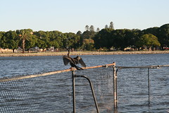 drying wings (superholly0926) Tags: australia kangaroo perth causeway   perthcity heirissonisland