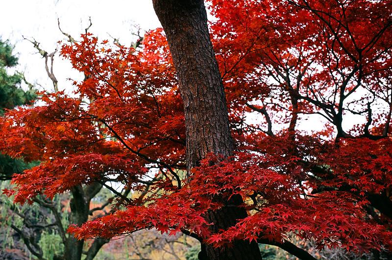 有點久的紅葉