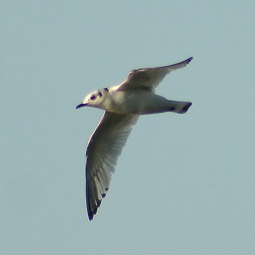Black-Legged Kittiwake 3