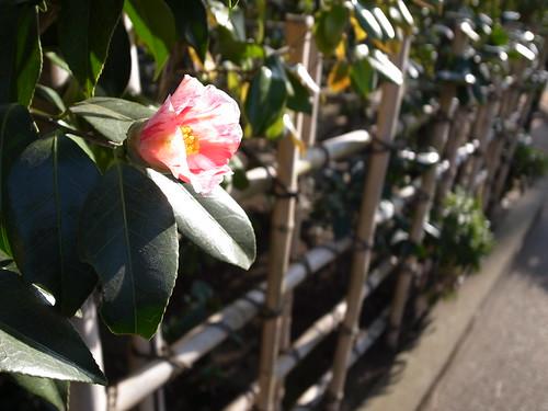 camellia #2