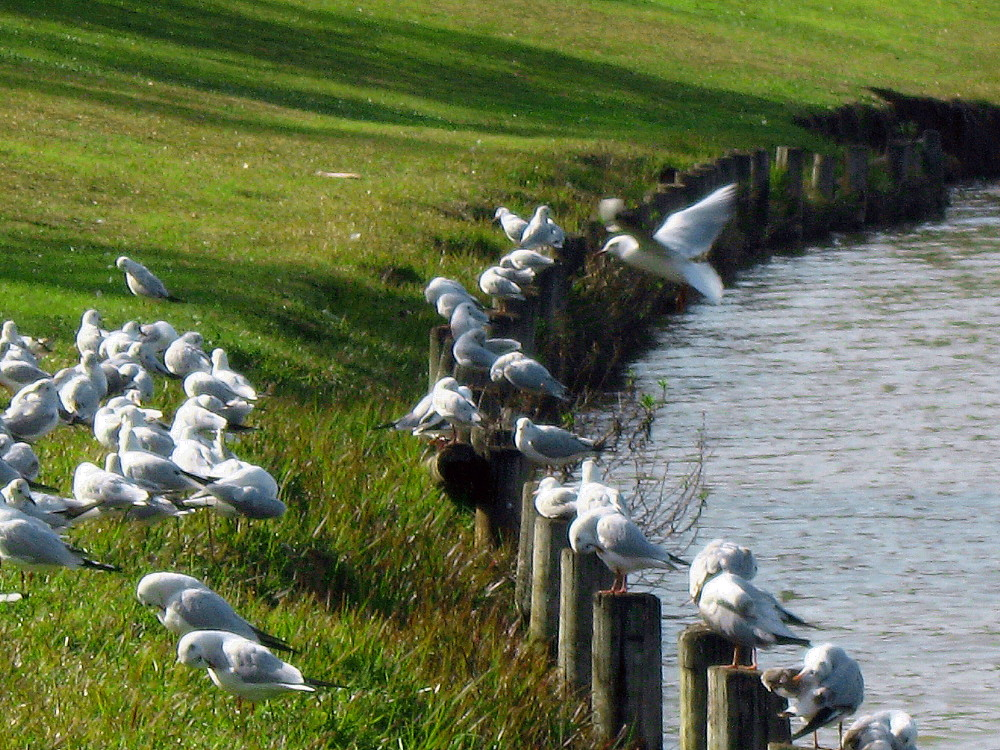 29-01-2011-gulls