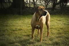 LILLYDOG :) (allancrutchley) Tags: uk england field walk hedge rhodesianridgeback oxfordshire sulgrave africanlionhound lillysavage