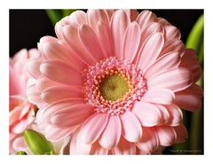 Pink & Powerful (David S Wilson) Tags: pink light flower colour gerbera olympuspen 2011 leica45mmmacrolens