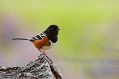 Spotted Towhee (Pipilo maculatus) San Luis Obispo, CA (Donald Quintana) Tags: new trees red wild orange white black tree bird nature beautiful animal flying wings log colorful pretty bright background wildlife birding feathers spots perched spotted colourful ornithology birdwatching avian crouching songbird towhee migrant pinyon perching pipilo maculatus