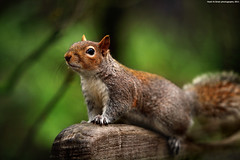 Squirrel (Hadi Al-Sinan Photography) Tags: life park wild green london canon photography is squirrel bokeh mark leeds hyde ii 5d depth f28 hadi 70200mm 2011 alsinan alssinan