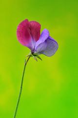 豌豆花 Sweet pea (cwwung) Tags: sweetpea 豌豆花 sweetpeaflower