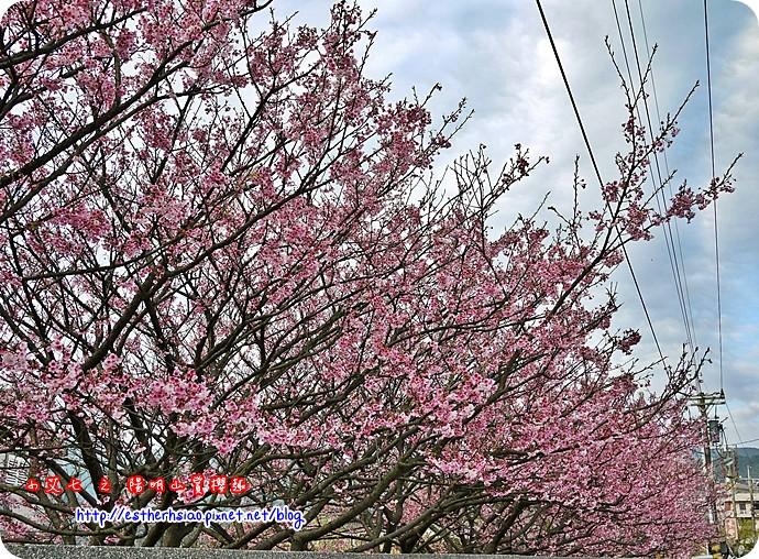 71 平菁街42巷櫻花樹