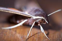Moth - Bawley Point