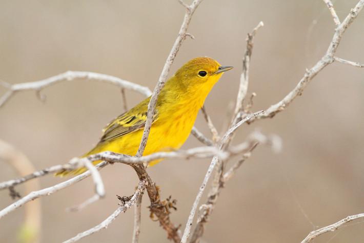 012611_yellowWarbler3