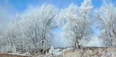 Openings. (terranoesis) Tags: winter rural nebraska hoarfrost fields agricultural cedarrapids windbreak