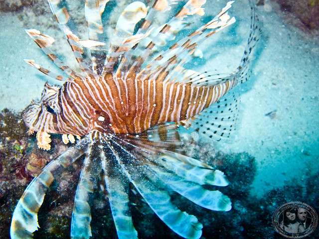 Beautiful Lionfish But Dangerous