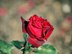 A Rose For a Valentine (saxonfenken) Tags: red roses flower rose dof bokeh redrose 153 bigmomma gamewinner pregamesweepwinner 153flowers