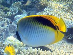 Spot-nape butterflyfish - Maldives