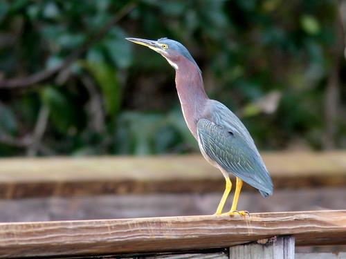 Green Heron 2-20110214
