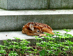 A Fawn at Rest in Cedar Hill Cemetery along The Berlin Turnpike (The Berlin Turnpike) Tags: