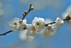 Japanese apricot ~ume (snowshoe hare*) Tags: flowers 京都 ume 梅 plumblossoms japaneseapricot ウメ prunusmume 北野天満宮梅苑