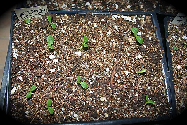 thinned out seedlings