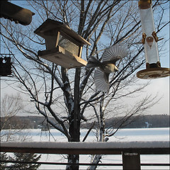 Flight For Food (NaPix -- (Time out)) Tags: trees food lake snow canada bird nature fence flight feeder fancy friday fff napix foodforfridge