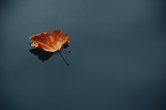 Autumn leaf on still water (blinkingidiot) Tags: park nottingham autumn winter reflection water leaf still floating curled highfield universityofnottingham nottinghamuniversity mygearandme mygearandmepremium mygearandmebronze mygearandmesilver