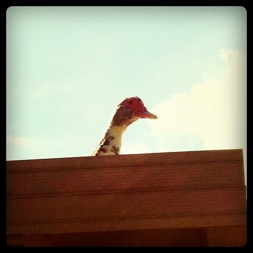 My Roof Duck