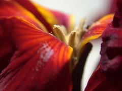 sam00073 (Scott Alan McClurg) Tags: red orange plant flower macro art yellow closeup garden petals close fine marigold