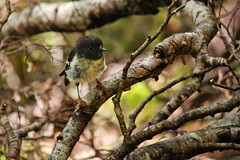 A cute little Tomtit Photo