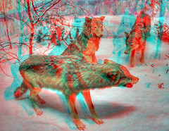 Wolfpack 3D (rawshooter72) Tags: red stereoscopic 3d cyan anaglyph stereo stereophotomaker
