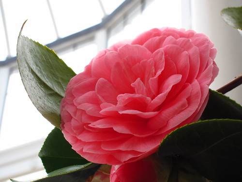 "Camellia Japonica ""Middlemist's Red"""