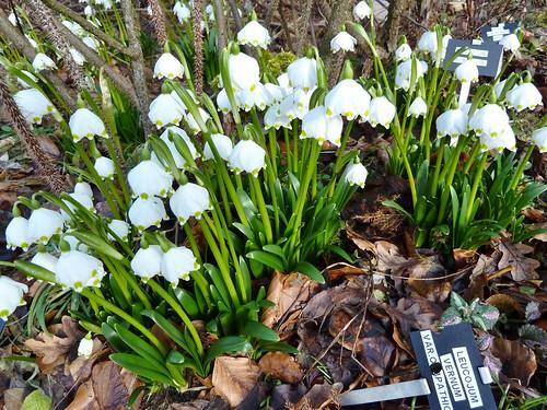 Spring Snowflakes at Greenbank