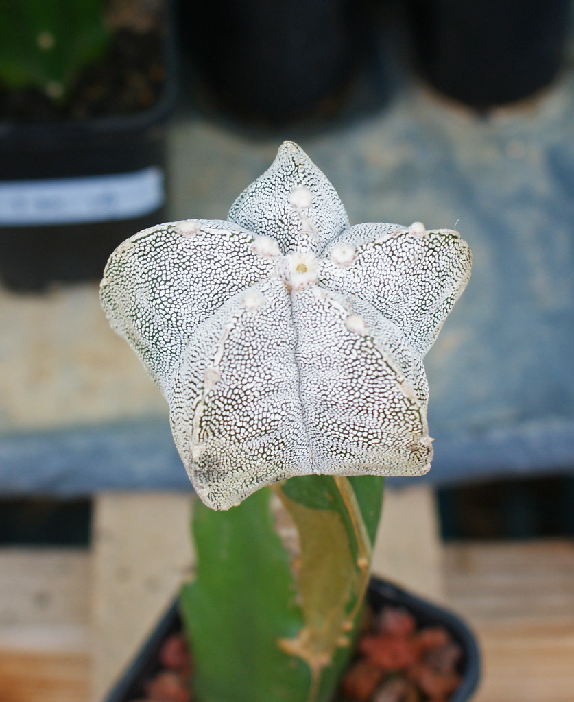 Astrophytum Cultivars  5481609826_b74fa2c584_b